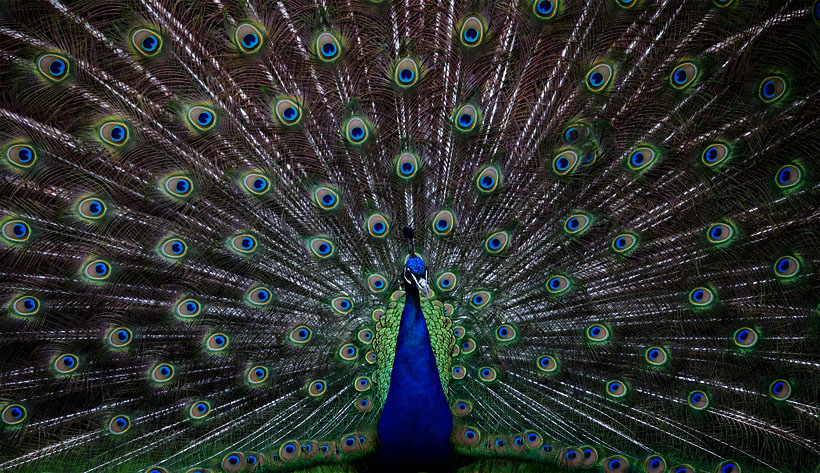 Castle Howard Peacock